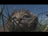 Котята манула