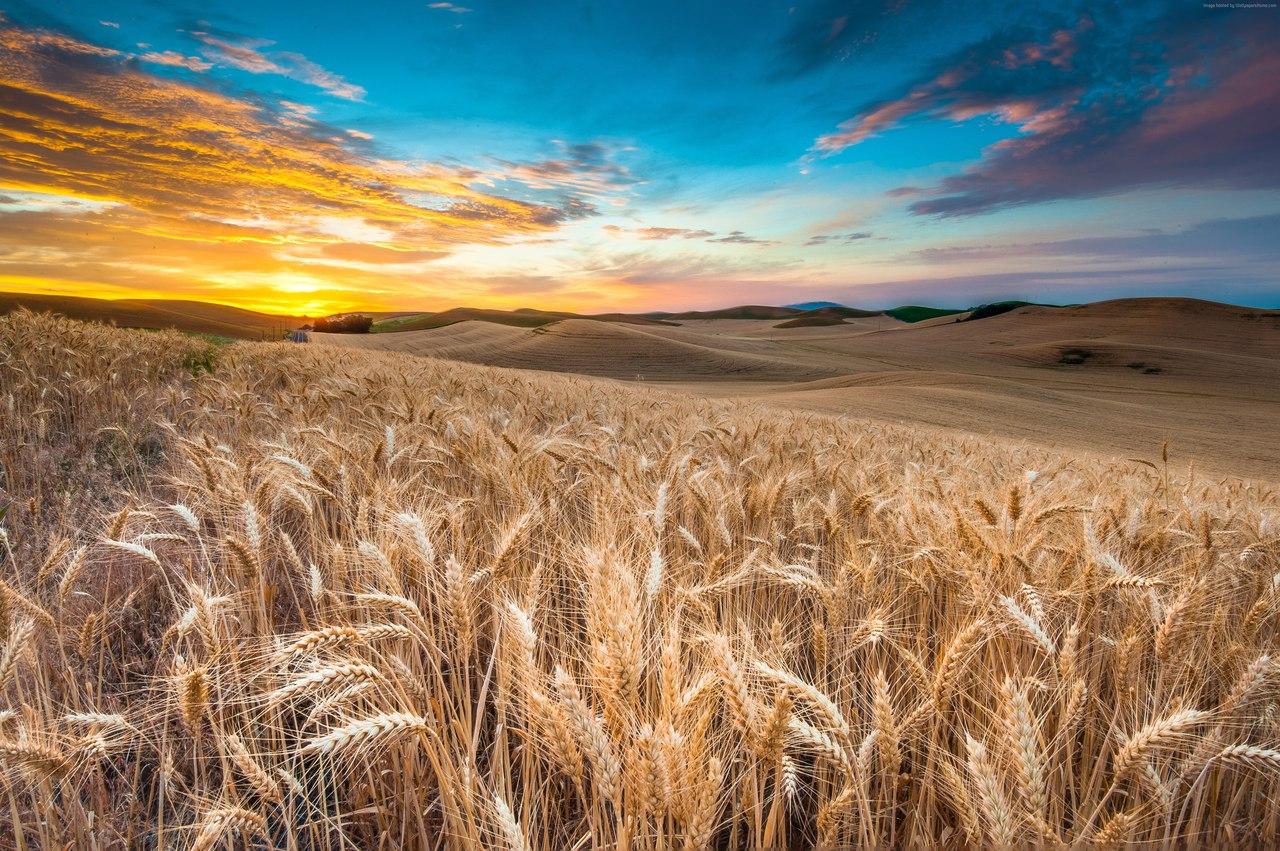 поле пшеницы