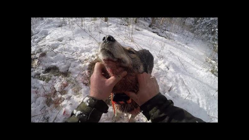 Охота 85 на кабана загрыз поросенка застрял на джипе