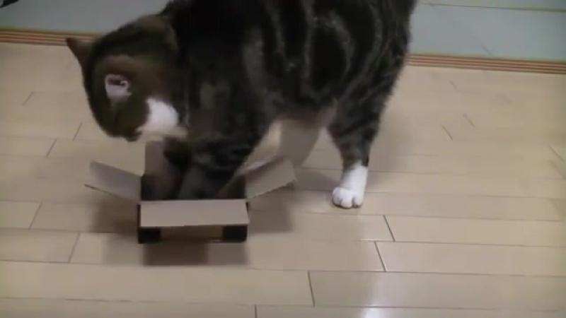 Упёртый кот Cat Maru