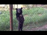 Медведь прогуливается вдоль забора, на двух лапах