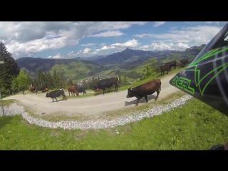 В Австрии велосипедист врезался в теленка