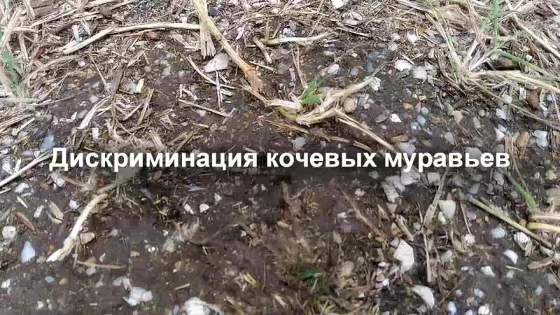 Муравьи-кочевники и их проблемы