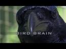 ВВС: Думают ли птицы / Bird brain (2011)