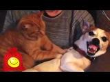 Смешные кошки бесят собак. Забавная подборка котов и собак