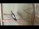 Зачем стричь когти у попугаев Нимфа -Корелла. Способы укорачивания когтей.