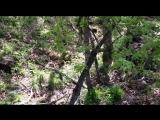Появилось видео первого свидания тигра Амура с его невестой Уссури