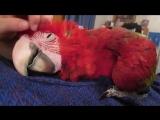 в попугая вселился кот