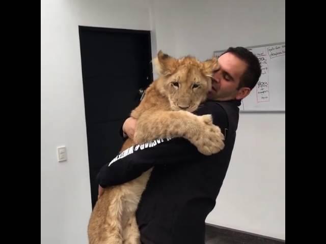 Львенок соскучился по своему другу