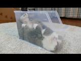 Мару в пластиковой коробке / Maru in plastic container / Кот в коробке