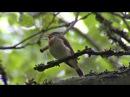 Пение птиц Мухоловка малая Ficedula parva
