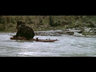 Медвежонок спасается от пумы