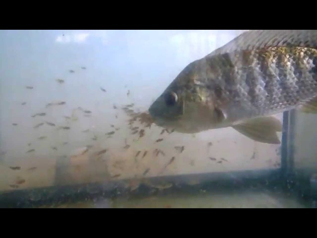 Мальки прячутся во рту у рыбы-мамы. Tristramella simonis simonis (Günther, 1864)