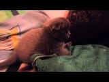 Скотиш фолд игрулька, вислоухий котёнок, няшка, вкусняшка, милая девочка, 2016