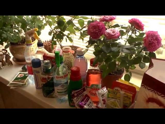 Удобрения для комнатных растений. 1. Удобряем розы.