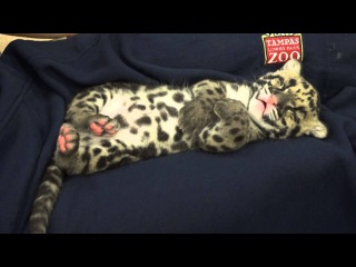 Catnapping Clouded Leopard Cub