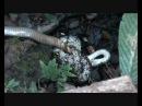 Королевская кобра против сетчатого питона, часть 1