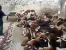 Кормление стаи собак