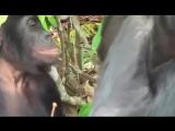 Животный мир. Любовь обезьяны. дикий мир и поведение животных в нем.