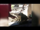 Реакция обезьяны-бабуина (примата) на фокус с исчезаюзей картой / Baboon Is Amazed By Mans Magic Trick