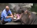 Как бегемоту зубы чистят