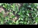 Выращивание топинамбура ( земляной груши) на Урале Весеннее отрастание. Уход