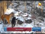 В Приморском крае тигр подружился с козлом, которого отдали ему на съедение