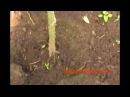 Томаты (помидоры) Пример неправильного выращивания.