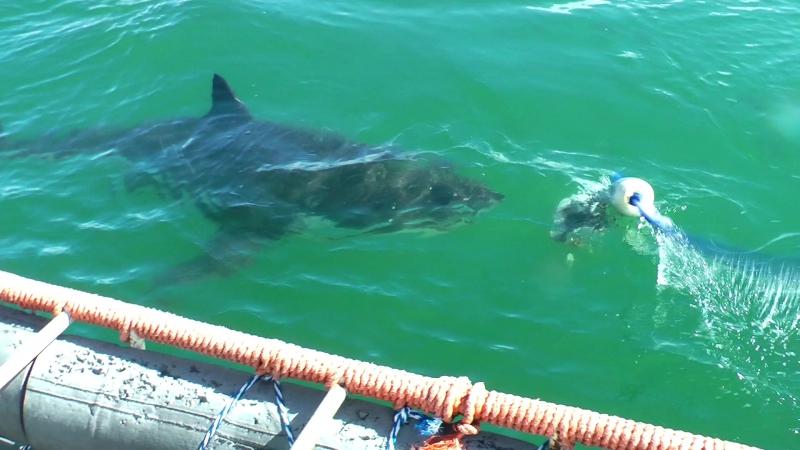Индийский океан, клетка и большие белые акулы sharkcage sharkdivingunlimited sharkdiving gansbaai
