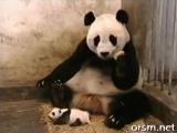 Чиханье детеныша панды))
