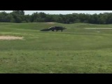 Гигантский аллигатор на поле для гольфа! | Giant gator. Golf Course. Florida.