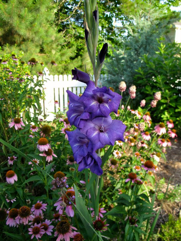 Как посадить и вырастить гладиолусы в саду
