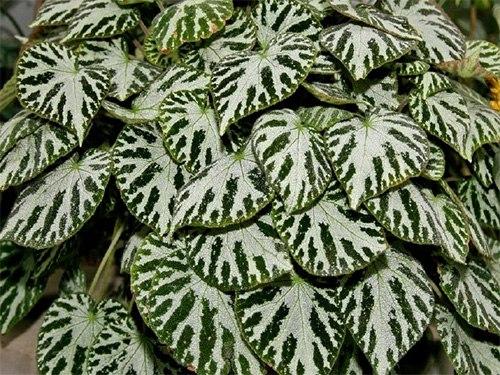 Бегония королевская пестролистная-Begonia Imperealis