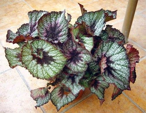 Бегония королевская пестролистная-Begonia Rex