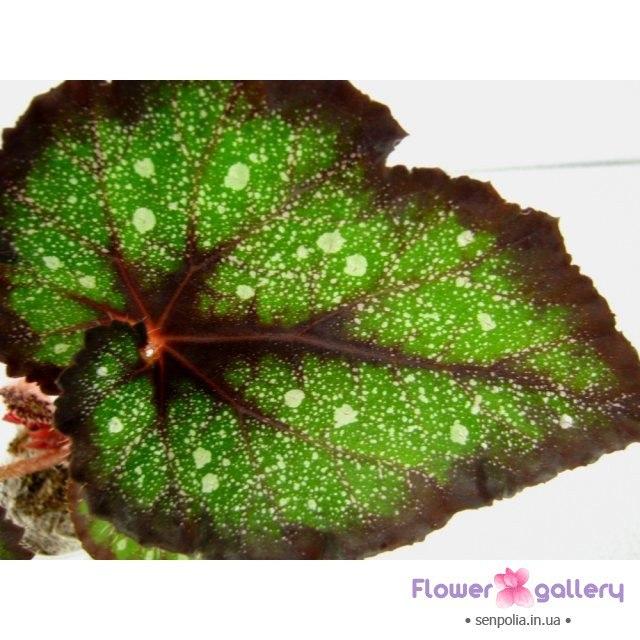 Бегония королевская пестролистная-Begonia Charm