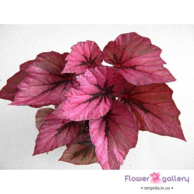 Бегония королевская пестролистная-Begonia Indian Summer