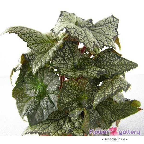 Бегония королевская пестролистная-Begonia November Frost