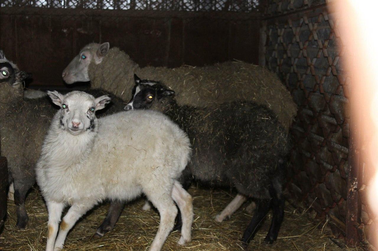В Ростовской области задержаны 30 овец без документов