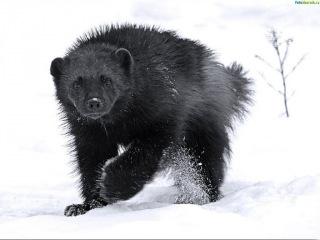 Охота на волка, росомаху. Алтай.