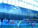 Дельфинарий на Крестовском, белуха-Полина и моржиха Соня