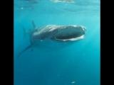 Әлемдегі ең үлкен балық әрі акула