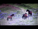 Great Footage Of A Mare Defending Her New Born Colt From A Wild Herd Horse Behavior