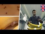 Семью англичан атаковали ядовитые пауки из банановой грозди