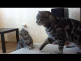 Ласковые шотландцы. Папа кот очень ласков к своему сыну-котику. Забавные и смешные кошки. Часть 2