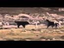 Собаки против волка Dogs vs Wolf