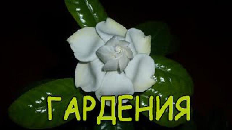 КОМНАТНЫЕ ЦВЕТЫ ГАРДЕНИЯ Gardenia flower