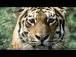 Удивительные случаи дружбы животных, которым тигр Амур и козёл Тимур подали пример