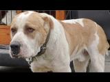 АЛАБАЙ - МОНСТР. Monster. Central Asia Shepherd Dog /Туркменский Волкодав/ Одесса.