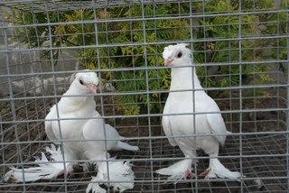 Голуби якубіни ціна фото фото 164-443