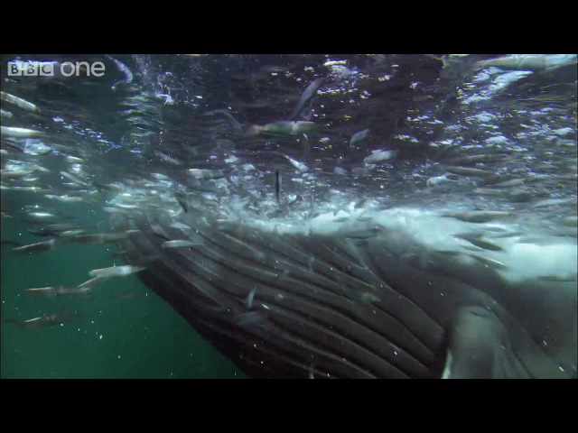 HD: Bait Ball Feast - Nature's Great Events: The Great Feast - BBC One